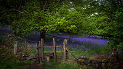 lush (Phil-Gregory) Tags: nikon naturalphotography bluebell woods roaches sigma18250macro sigma 18250 gate style trees colour colours scenicsnotjustlandscapes peakdistrict staffordshire ngc