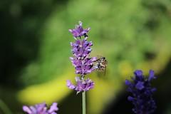 Bee at work (michael.heucke) Tags: macro lavender bee biene macrophoto lavendel flower nature natur blume blüte insect insekt