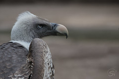 Sperbergeier (sirona27) Tags: sperbergeier geier raubvogel zoo tierpark