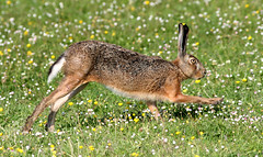 Meadow Dancer (Ger Bosma) Tags: haas 2mg294117filtered hare hase lebre lièvre brownhare leporidae liebre lepuseuropaeus europeanhare lepre feldhase lebrecomum action fast running run zającszarak заяцрусак