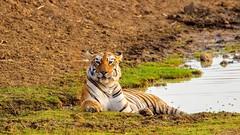 Queen of tadoba - MAYA (Arvind_S) Tags: cat forest maya wild wildlife nature maharashtra tadoba tiger ngc