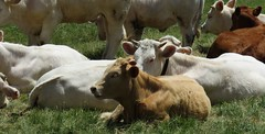 Troupeau au repos (bernard.bonifassi) Tags: thiery bb088 06 alpesmaritimes 2019 juin printemps canonpowershotsx60hs counteadenissa troupeau vache élevage