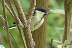 Young great tit (tanith.watkins) Tags: fledgling juvenilebird greattit gardenbird