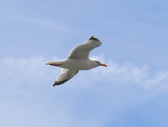 Scavenger on the wing (ORIONSM) Tags: bird animal seagull flying inflight scavenger nature wildlife olympus omdem1 olympus14150mm