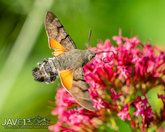 Hummingbird hawk-moth (Macroglossum stellatarum)-7738 (George Vittman) Tags: insect moth hawk flight france wildlifephotography jav61photography jav61 fantasticnature