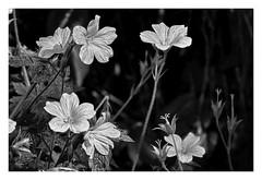 Am Wegesrand / At the roadside (Dirk Böhling) Tags: monochrome monochrom blackandwhite blumen nature natur