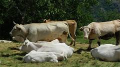 Blanc, beige, boue (bernard.bonifassi) Tags: thiery bb088 06 alpesmaritimes 2019 juin printemps canonpowershotsx60hs counteadenissa troupeau vache bovidé élevage