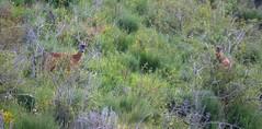 Brocards (bernard.bonifassi) Tags: brocard chevreuil chasse thiery bb088 06 alpesmaritimes 2019 juin printemps canonpowershotsx60hs counteadenissa