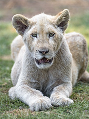 Rather happy lion cub (Tambako the Jaguar) Tags: wild portrait face grass cat southafrica happy cub big nikon looking lion young posing dry resting openmouth lying johannesburg d5 lionsafaripark
