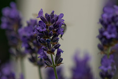 Lavender (walter engels) Tags: fantasticnature purple lavender