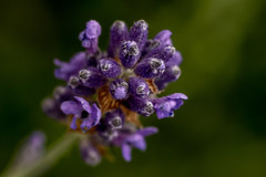 Lavender (walter engels) Tags: fantasticnature lavender purple