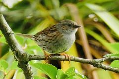 Dunnock (tanith.watkins) Tags: gardenbird dunnock