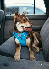 Stellla in the 4Runner. (M///S///H) Tags: rx1 backseat dog happy portrait puppy sleepy sony sonyrx1 stella