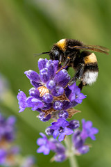 Lavender and bumblebee (walter engels) Tags: fantasticnature purple lavender bumblebee