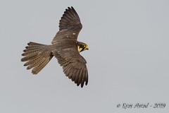 05062019-sDSC_7613 (Eyas Awad) Tags: eyasawad nikond800 nikond4 nikond500 sigma500f45 nikonafs300mmf4 tamron70200mmf28 nikkor200400mmf4 bird birds birdwatching wildlife nature lodolaio falcosubbuteo