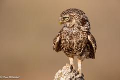 Little Owl (onnowildschut) Tags: owl bird nocturnal spain nature castillalamancha eltaray evening