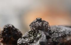 Aelurillus v-insignitus (female) (willjatkins) Tags: wildlife wildlifeofeurope europeanwildlife arachnids arachnid arachnidsofeurope europeanspiders spider spiders spidersofeurope jumpingspider salticidae aelurillus aelurillusvinsignitus britishwildlife britisharachnids britishspiders ukwildlife ukspiders ukarachnids dorsetwildlife dorsetspiders heathlandwildlife heathland macro macrowildlife closeupwildlife closeup nikond610 nikon sigma105mm