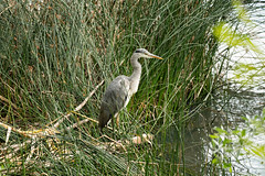 2019 06 Etang de Meudon, heron (jeanpierre.nivet) Tags: etangdemeudon cormoran