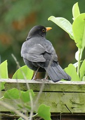 Blackbird (tanith.watkins) Tags: gardenbird blackbird