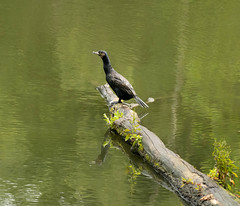 2019 06 Etang de Meudon, grand cormoran (jeanpierre.nivet) Tags: etangdemeudon cormoran