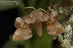 Poplar Hawk-moth (Laothoe populi) (gcampbellphoto) Tags: poplar hawkmoth laothoe populi insect invert macro nature wildlife moth north antrim ballycastle woodland gcampbellphoto biodiversity