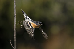 Brambling (msmedsru) Tags: bird flight synnfjell brambling