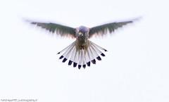 Tuulihaukka (mattisj) Tags: aves birds commonkestrel eläimet falcotinnunculus falconidae falconiformes fåglar jalohaukat jalohaukkalinnut linnut tuulihaukka tornfalk