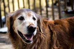 Bear (Myjo-Photo) Tags: dog golden retriever goldenretriever sunshine happy