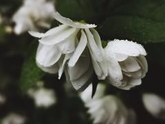 Rainy days (Mellisapix) Tags: weather england garden shrub scented flora greenandwhite wet raindrops rain fresh flower leaf leaves green whitepetal