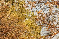 Potential Giraffe Fodder (p) (davidseibold) Tags: america california jfflickr leaf leavescolororange photosbydavid plant postedonflickr postedonmewe redding shastacounty sky tree unitedstates usa