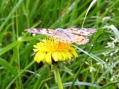 Diestelfalter auf Löwenzahn (captain_j03) Tags: distelfalter vanessacardui cynthiacardui paintedlady schmetterling butterfly löwenzahn flower blume dandelion