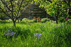 The Orchard (CurlewRiver) Tags: garden walledgarden helmsley northyorkshire bluebells narcissi orchard trees grass