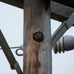 Day 8, tiny Elf Owl / Micrathene whitneyi - smallest owl in the world! (annkelliott) Tags: us unitedstates texas southtexas riograndevalley nature wildlife avian bird birdofprey owl elfowl micrathenewhitneyi strigidae oneofapair worldssmallestowl worldslightestowl cavity utilitypole outdoor 26march2019 nikon p900 nikonp900 coolpix annkelliott anneelliott