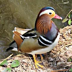 Mandarin Duck (HighPeak92) Tags: mandarinduck canonpowershotsx700hs