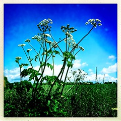 The day that was Summer (Julie (thanks for 9 million views)) Tags: 100xthe2019edition 100x2019 image66100 hipstamaticapp squareformat iphonese hogweed umbellifer huw flower wildflower ireland irish lowpov colourful native wexford heracleumsphondylium