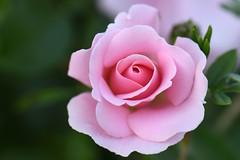 Rose (liakada-web) Tags: austria aut gresten österreich niederösterreich blume flower rose nikon d7500 nikond7500