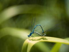 A Summer Love (ursulamller900) Tags: diaplan28100 extensiontube 12mm makroring hufeisenazurjungfer libelle insekt damselfly mygarden green bluegreen