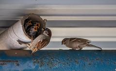 Spatzenfamilie (matthias_oberlausitz) Tags: spatz sperling vogel nest fütterung füttern familie