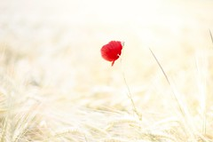 Solista (Nathalie_Désirée) Tags: solista solo poppy flower june beautiful afterwork red minimalism lessismore plant rural countryside soft fragile nature outdoors sonyαmo sonyα sonyalpha7rii sonyalpha7r2 canon50mm f18 country meadow grain flora