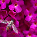 Toxomerus marginatus ♀, Hover Fly