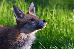 Wary and watchful... (Ian A Photography) Tags: animals britishanimals fox juvenileanimals mammas nature nikon redfox ukwildlife wildlife goldwildlife