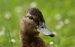 Duck face (Gavin E Young) Tags: duck face portrait feathered canon 5ds 400mm