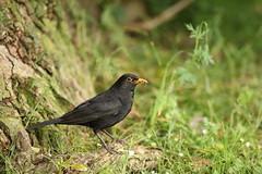 Blackbird with a beak full of food (Gavin E Young) Tags: bird birds canon 5ds