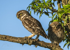 A Protective Father (Fourteenfoottiger) Tags: young cute fluffball fluffy parent athenenocturne littleowl owl nature chic owlet perch branch trees countryside britishwildlife wildlife wildbird bird raptor birdofprey family father dad offspring fledgling