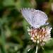 Celastrina neglecta, Summer Azure