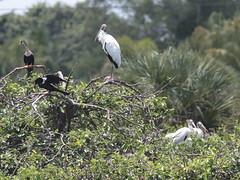 Wood Storks 1 adul 2 juveniles 02-20190611 (Kenneth Cole Schneider) Tags: florida orangeroadrookery weston
