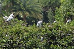 Wood Stork 4 adults 2 immatures 06-20190611 (Kenneth Cole Schneider) Tags: florida orangeroadrookery weston
