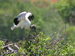 Wood Stork adult 04-20190611 (Kenneth Cole Schneider) Tags: florida orangeroadrookery weston