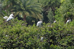 Wood Stork SMALL 4 adults 2 immatures 06-20190611 (Kenneth Cole Schneider) Tags: florida orangeroadrookery weston