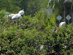 Wood Storks 3 aduls 2 juveniles CROP 03-20190611 (Kenneth Cole Schneider) Tags: florida orangeroadrookery weston